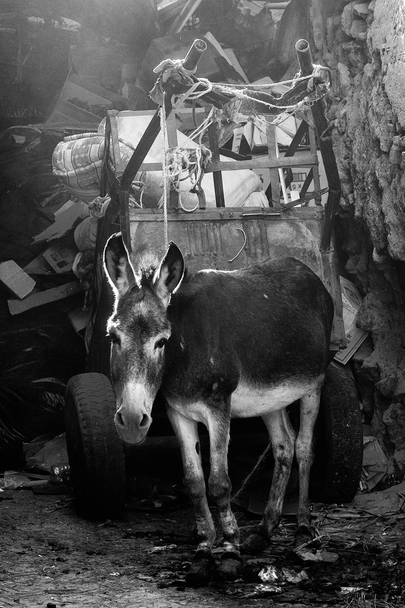 marrakesh mule