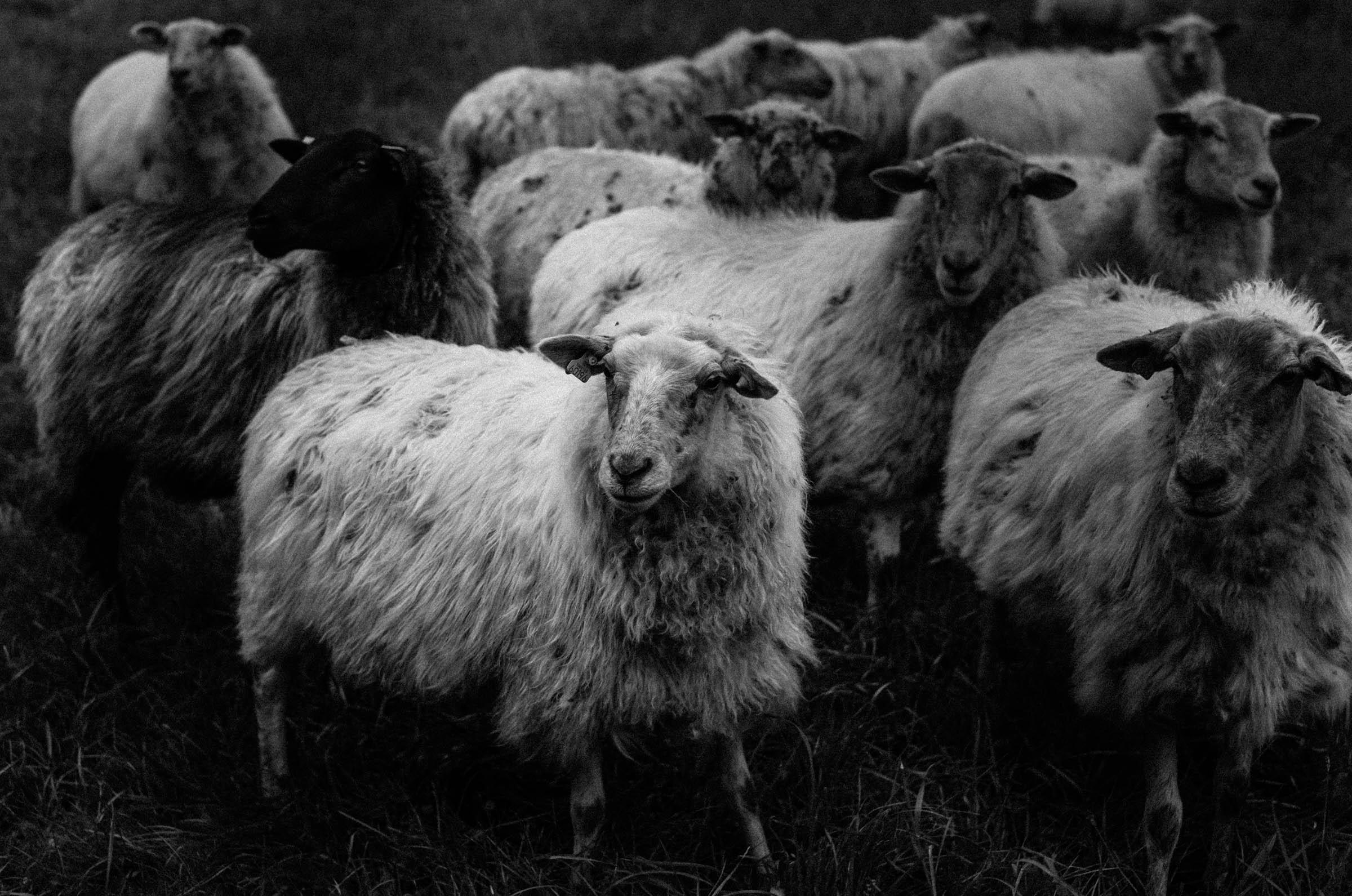 pieterberger sheep