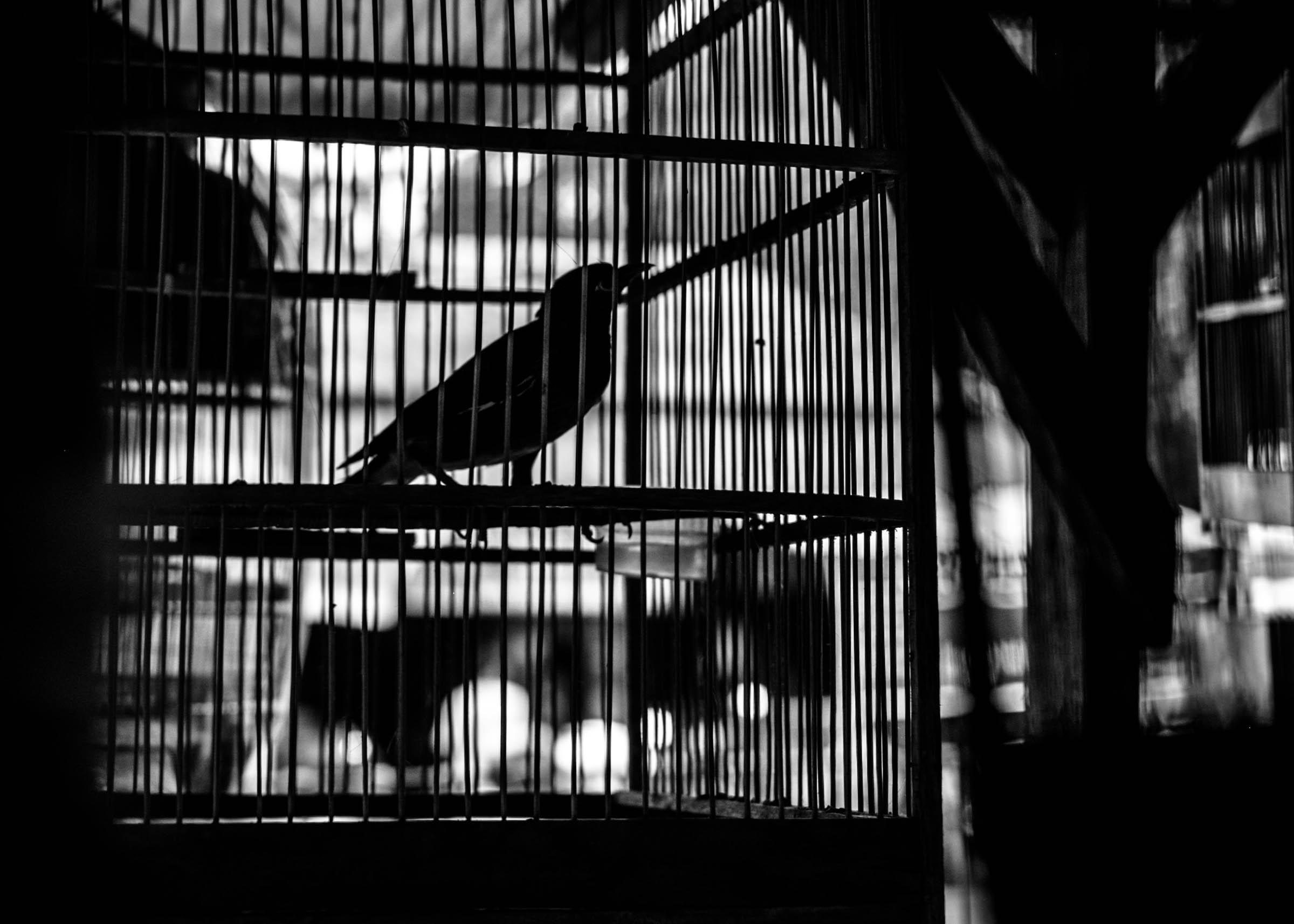 indonesian birdie