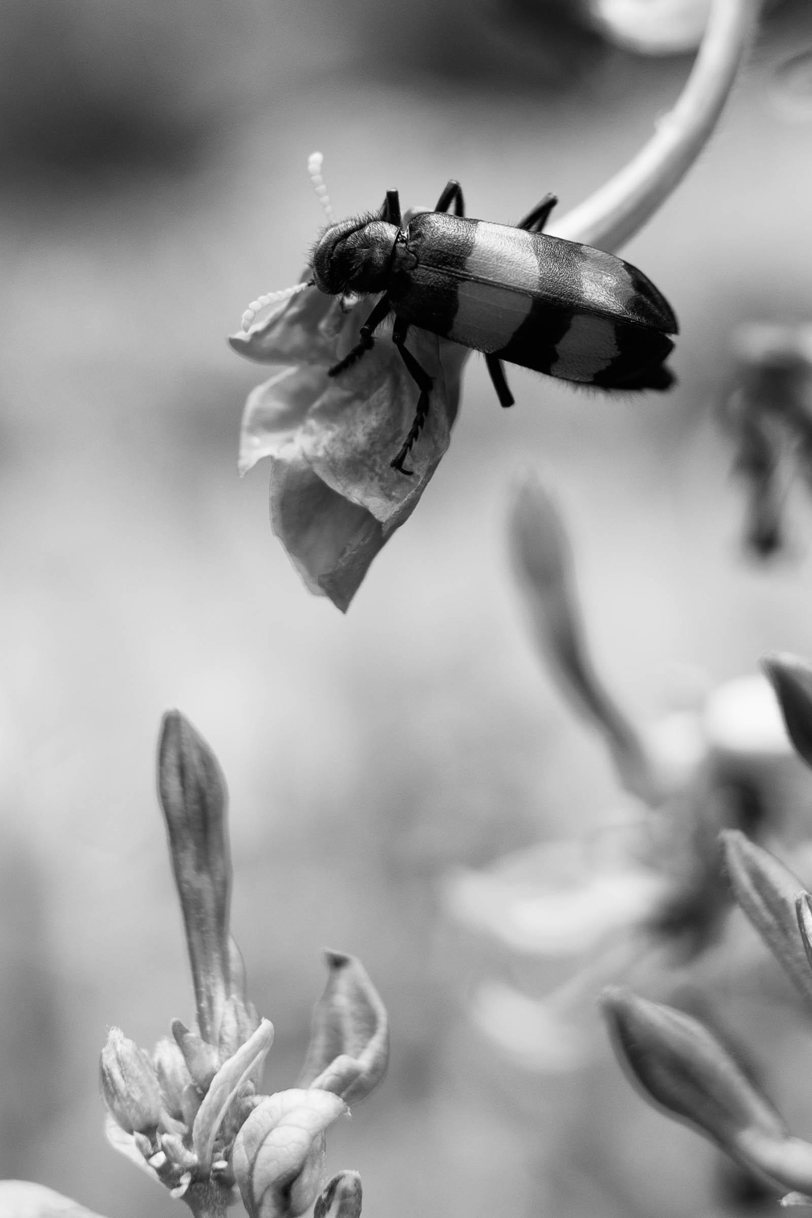 african bug