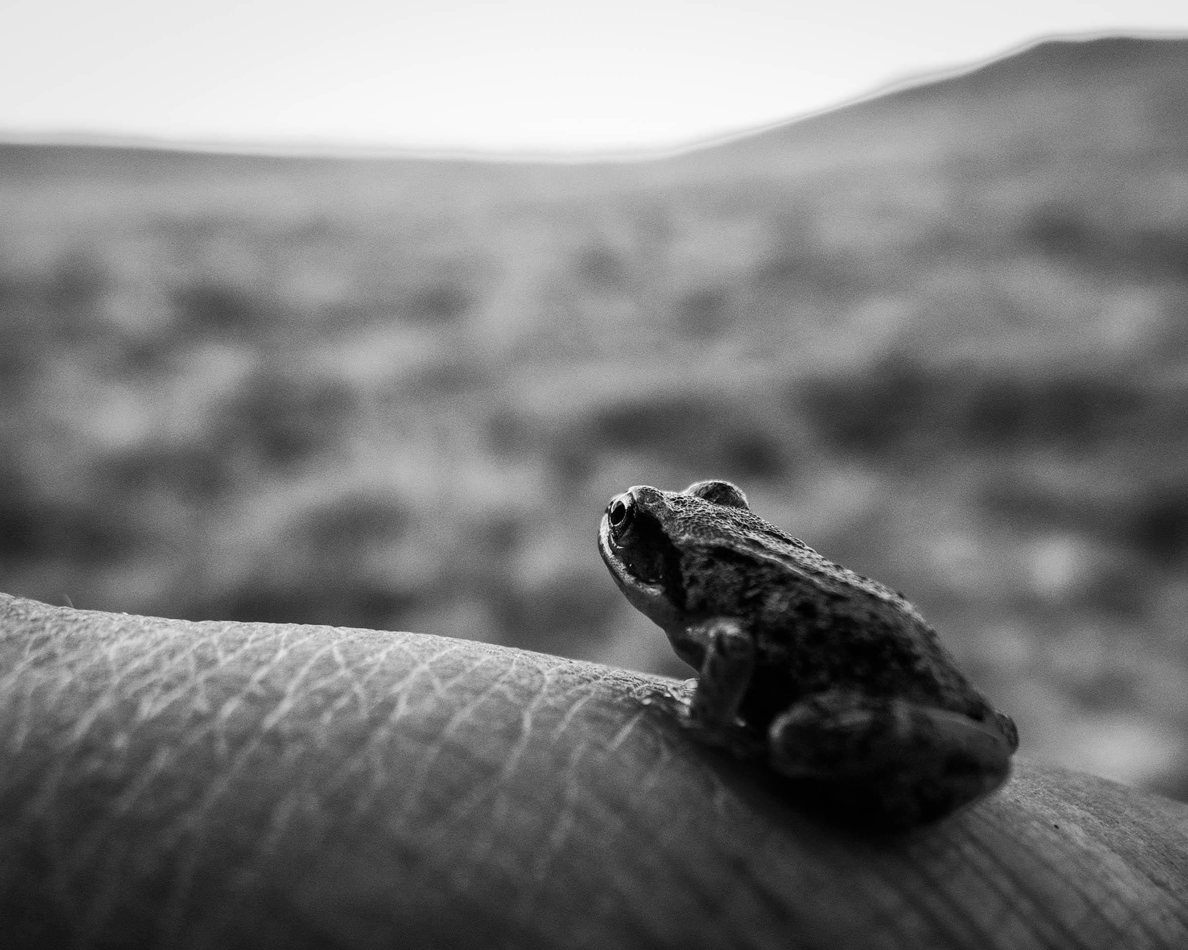 french babyfrog